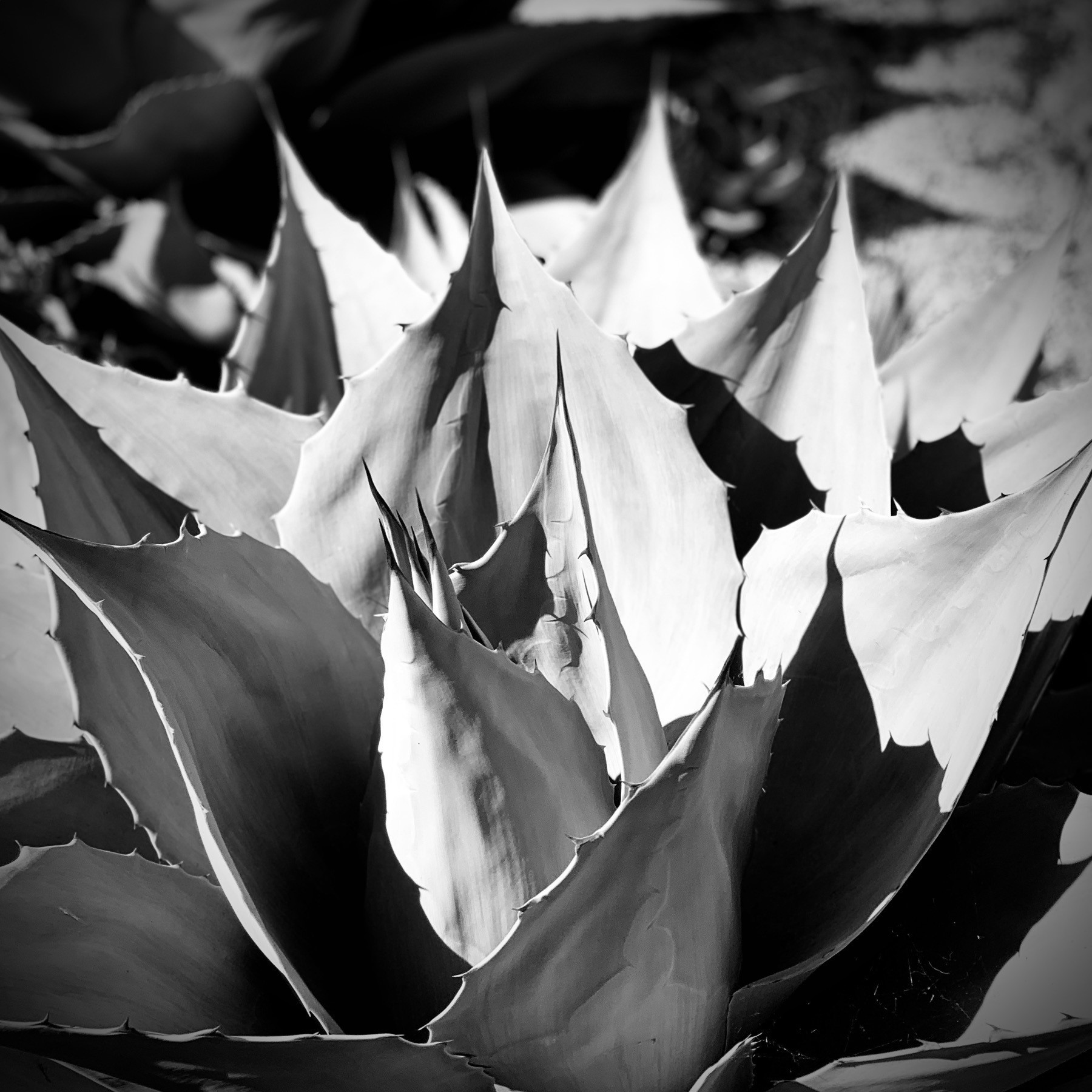 Black and white agave plant.