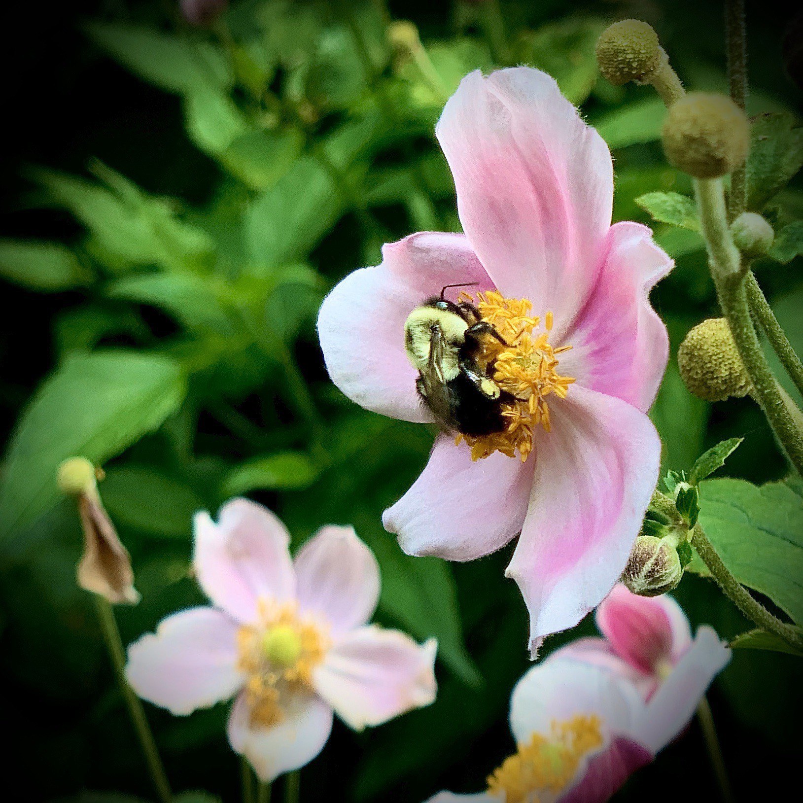 Closeup of a bee pollenating a flower.