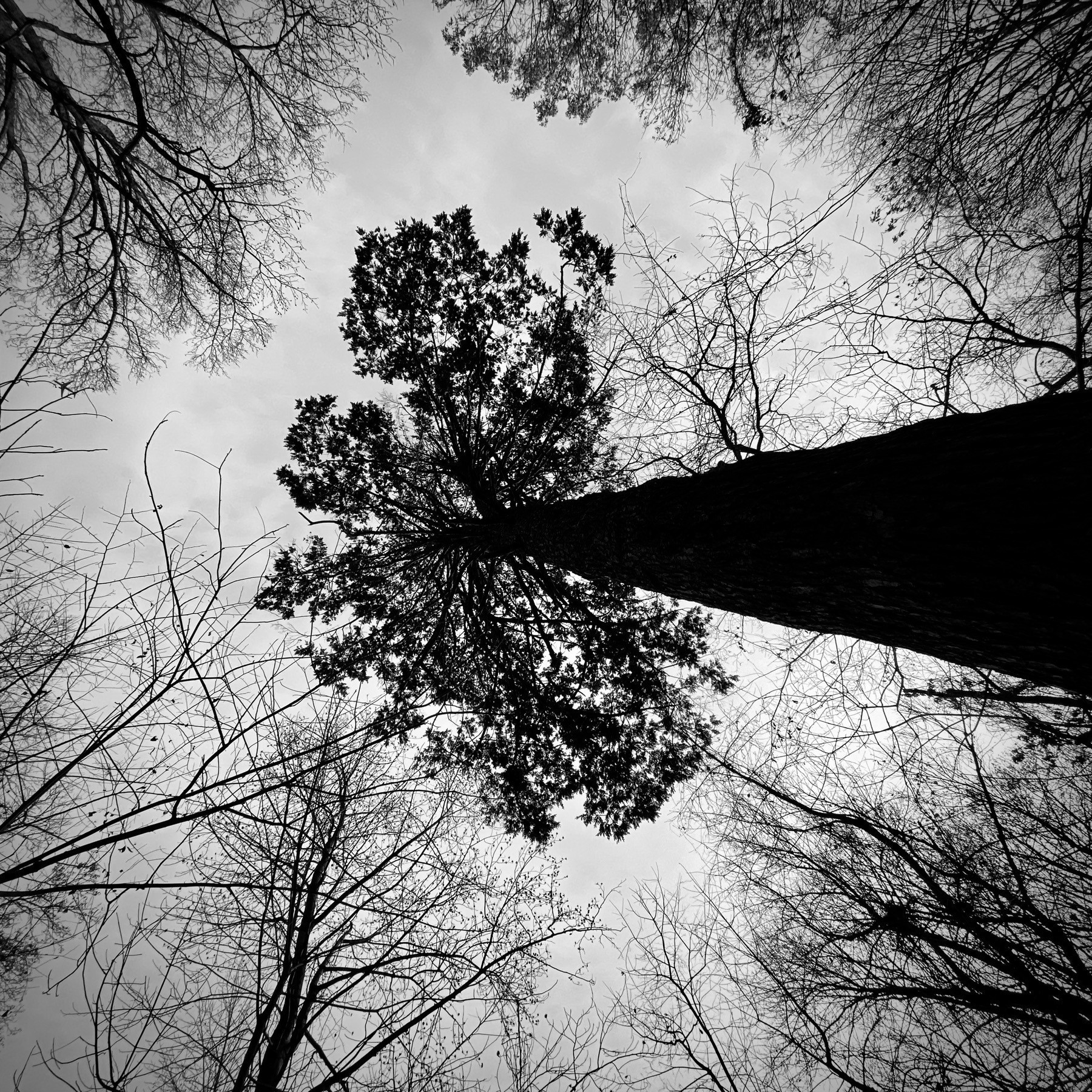 Looking straight up at a Hemlock tree, with grey skies.
