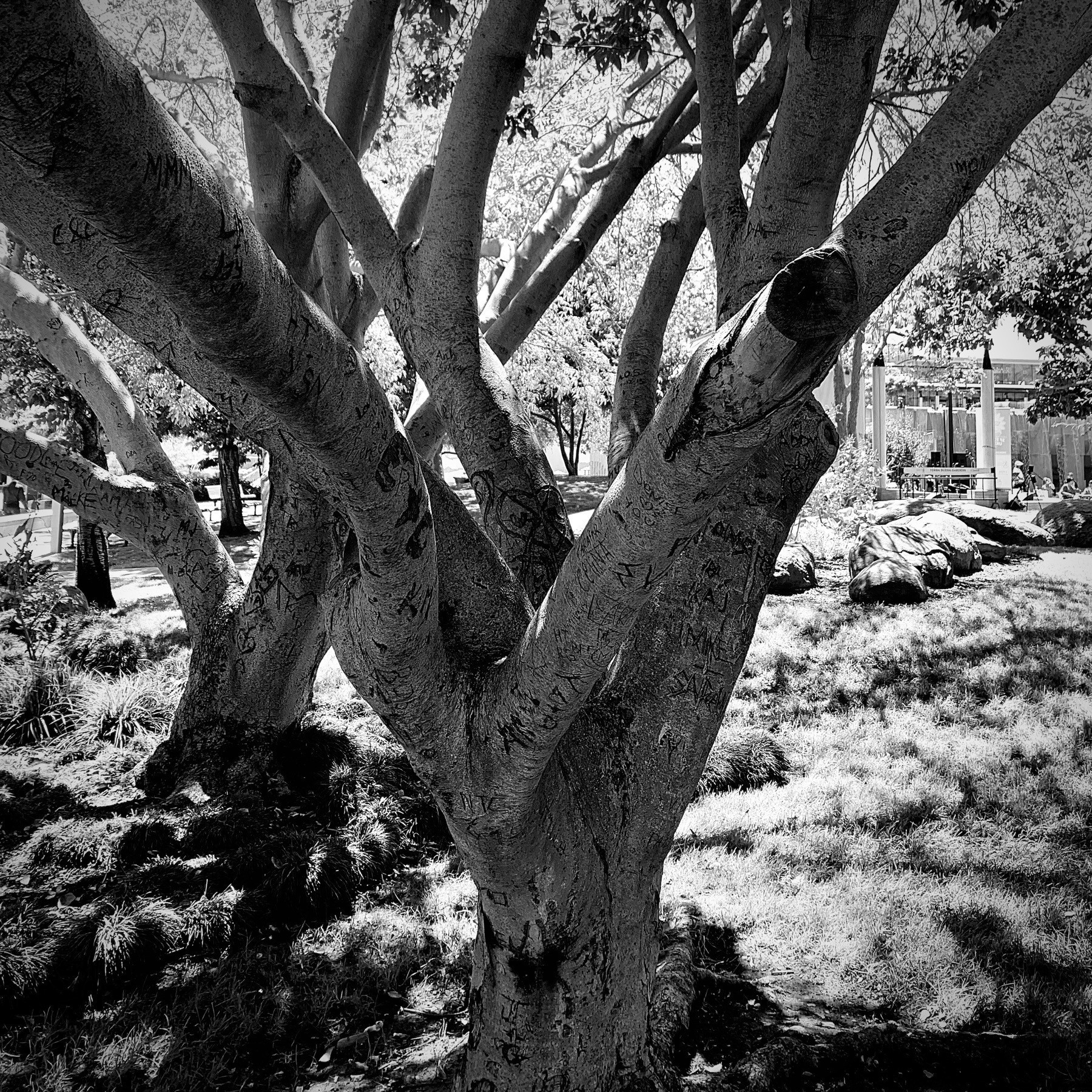 Close-up black and white tree trunk with many branches.