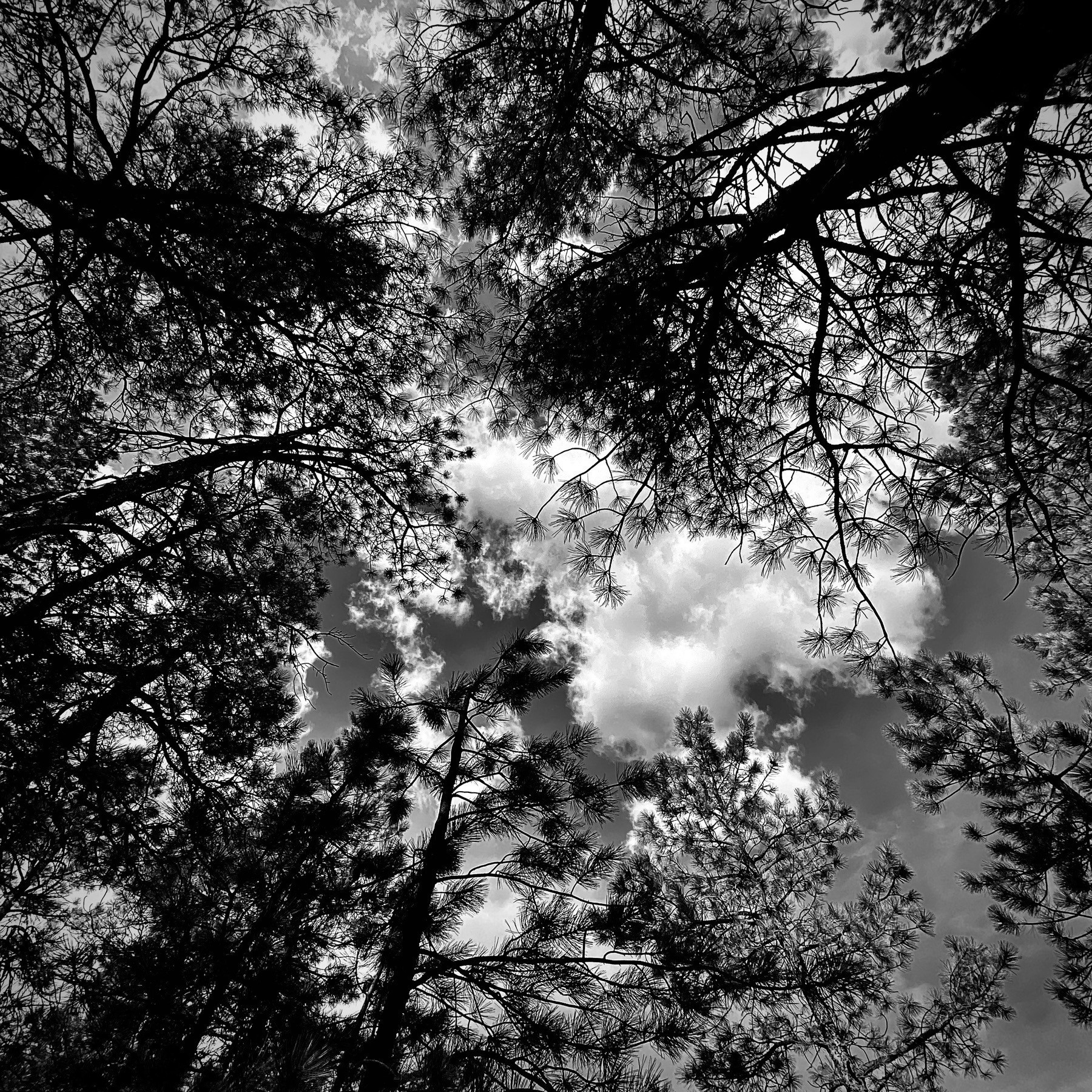Looking directly up through pine trees at the sky.