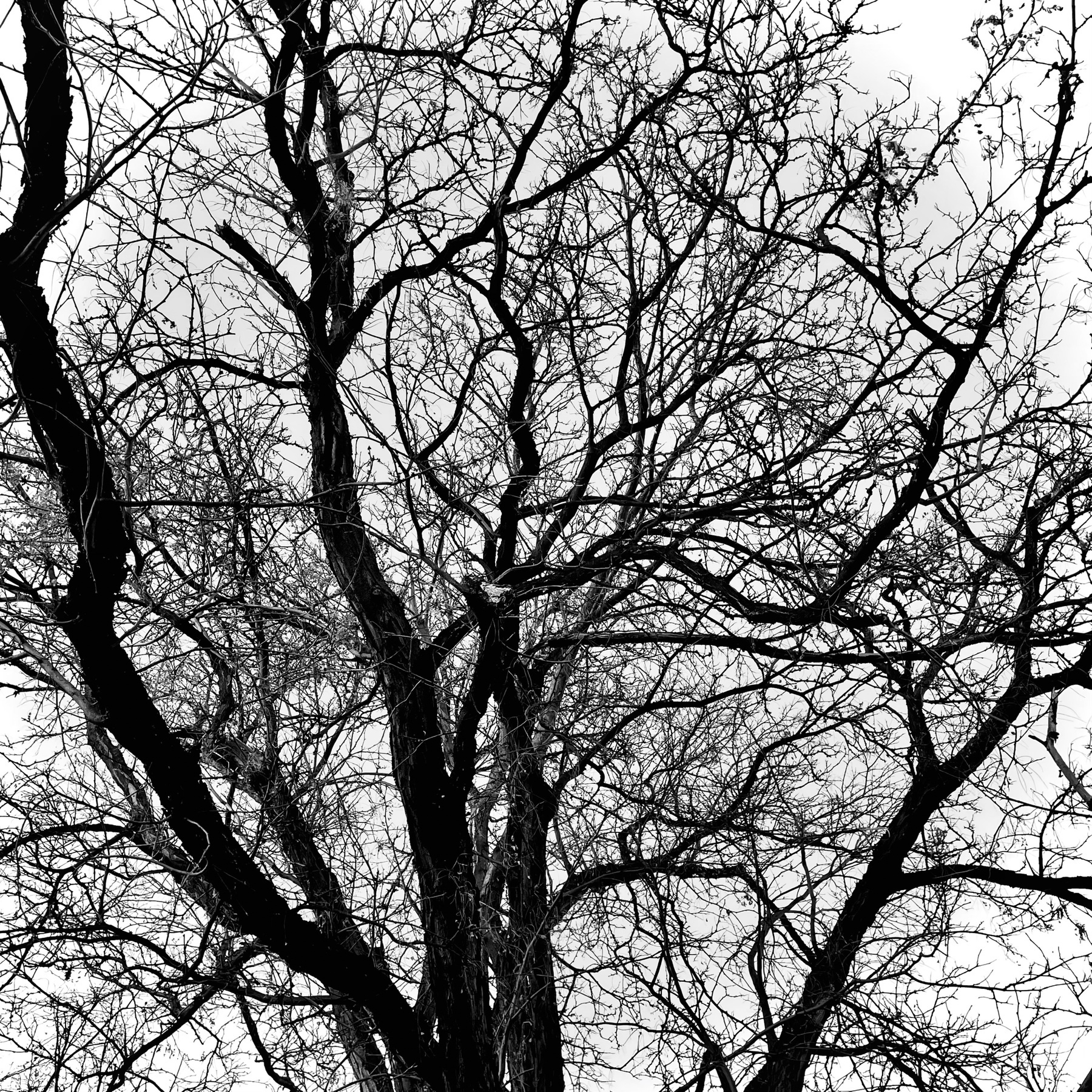 Winter Bare tree against bright sky. Black and White.
