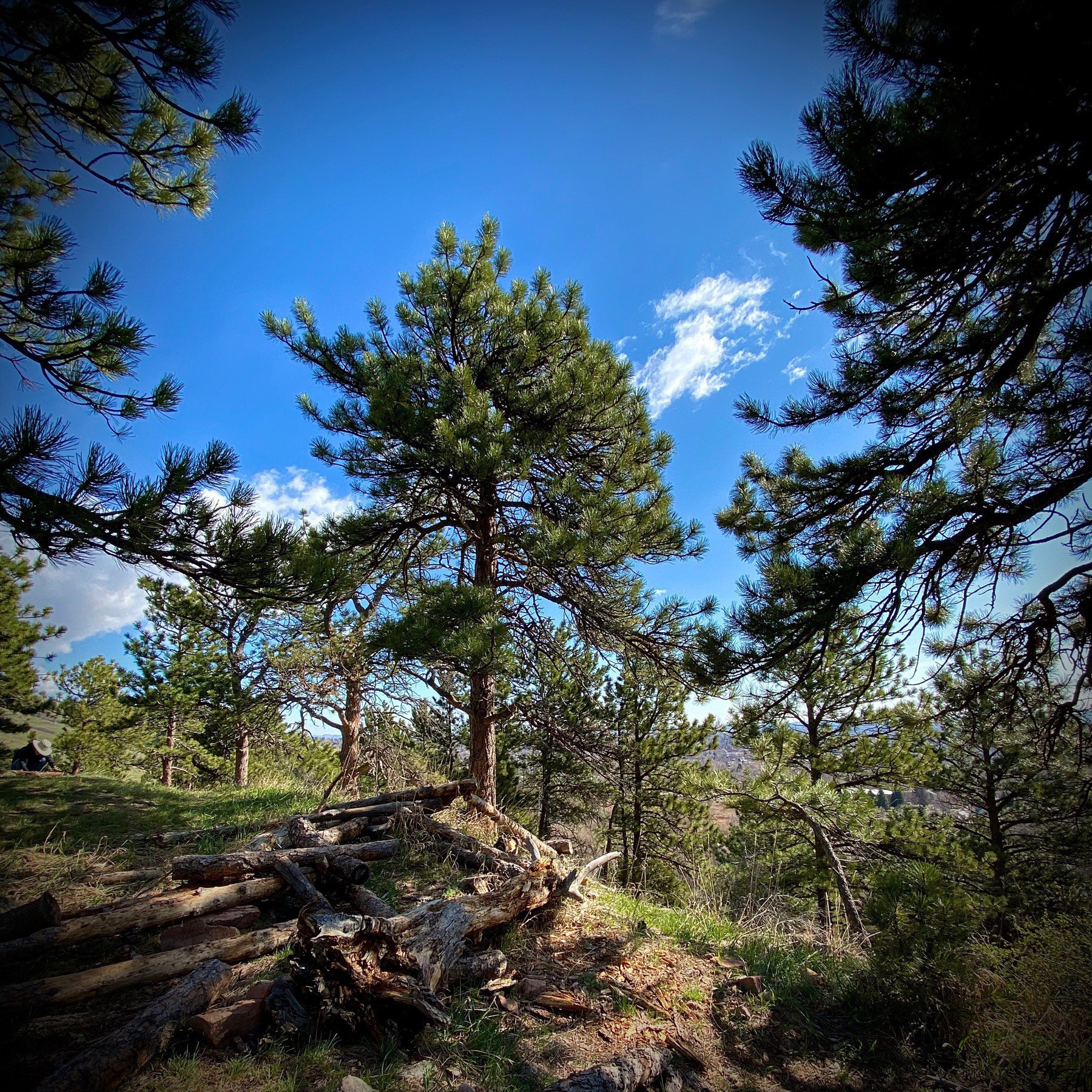 Pine trees and blue sky atop a mountain.