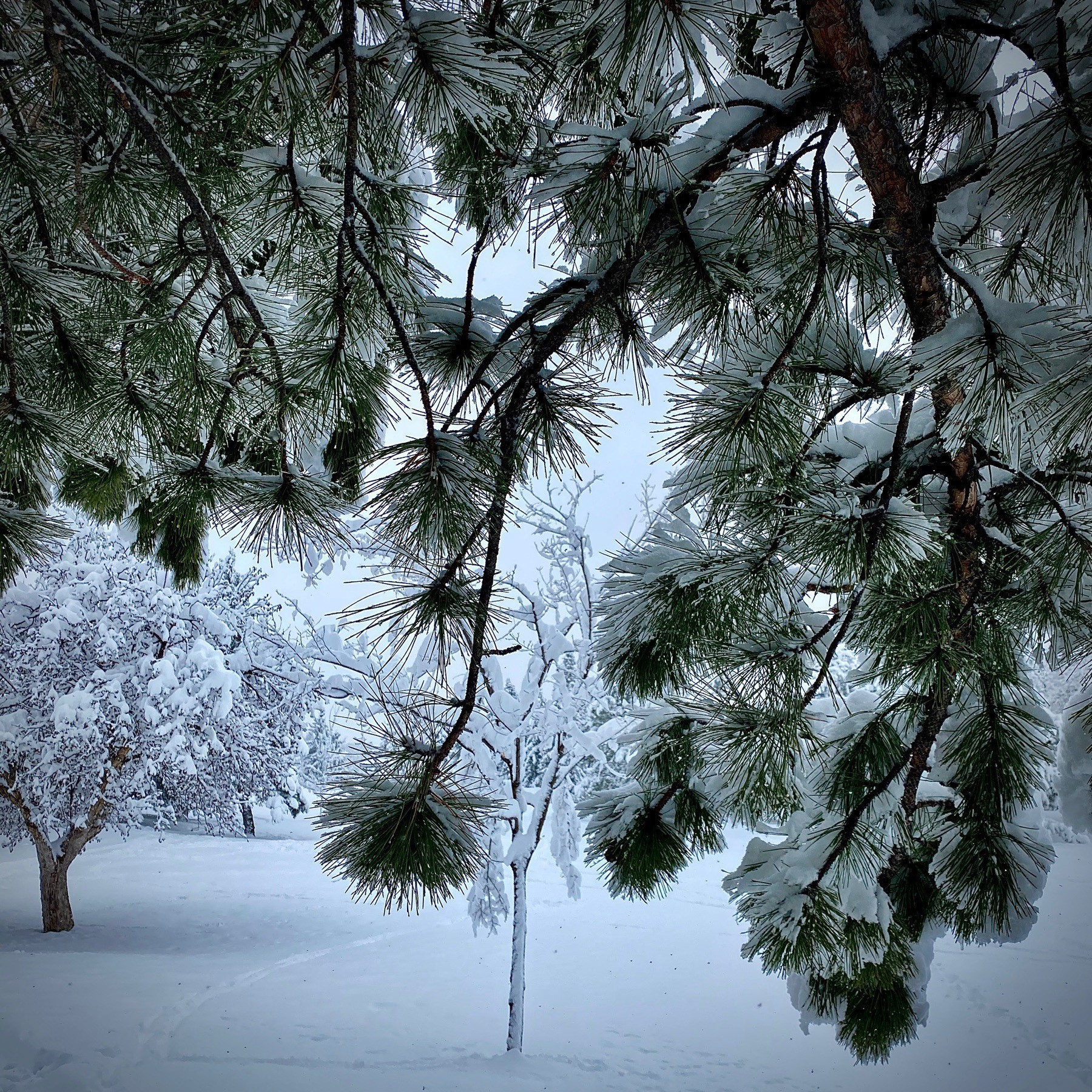 Pine tree branches obscuring wintery scene.