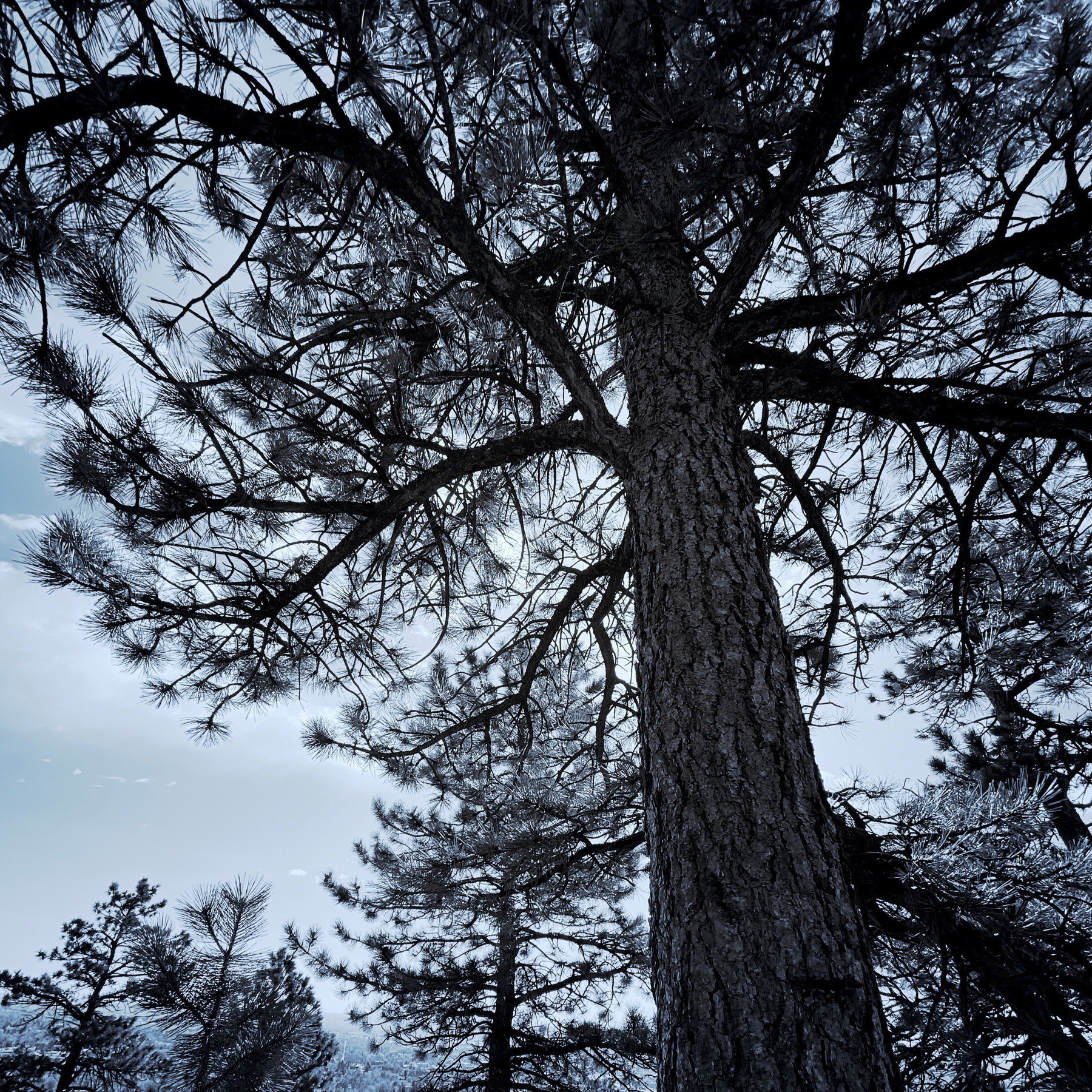 Pine tree, black and white, blue tint