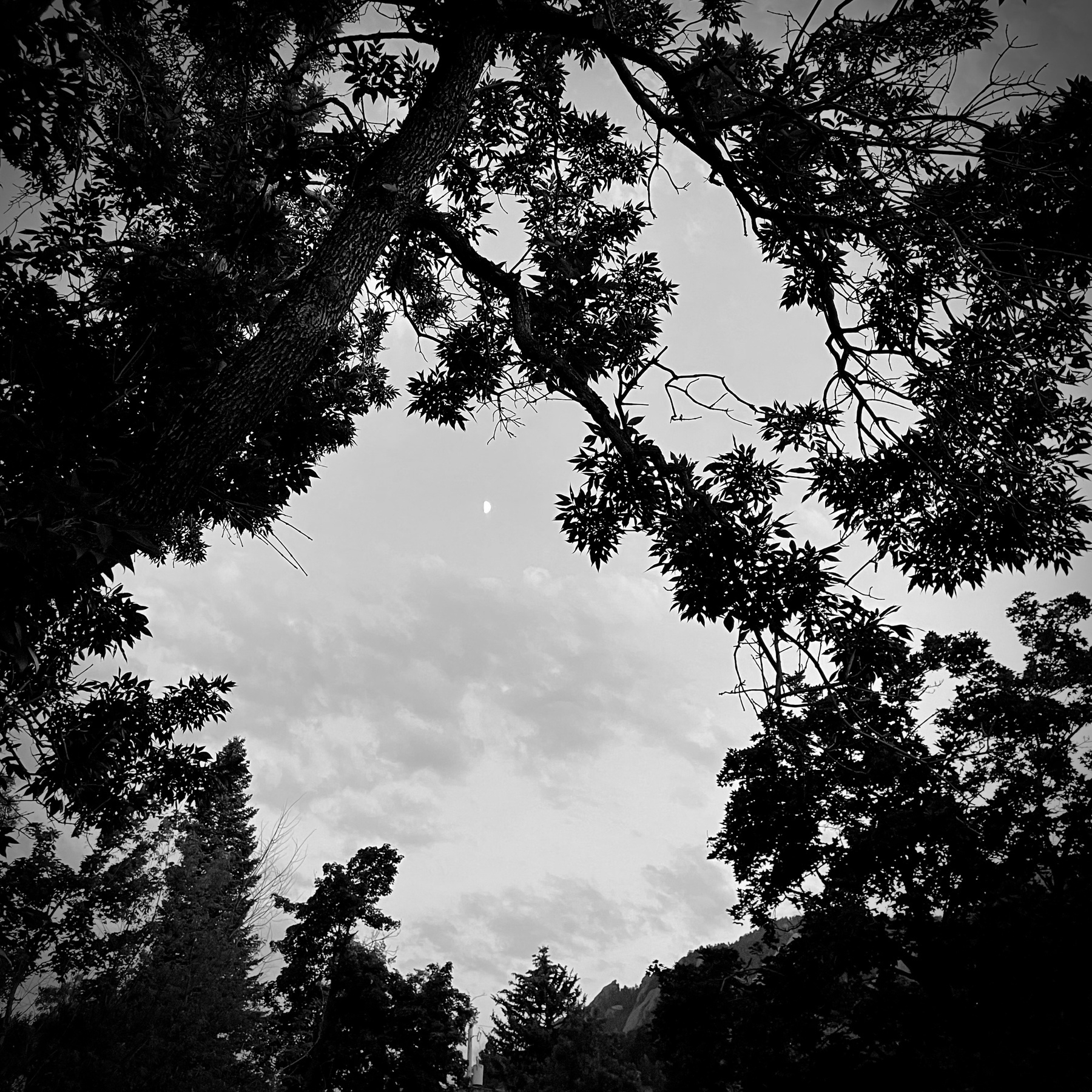 Evening trees before a cloudy sky, black and white.