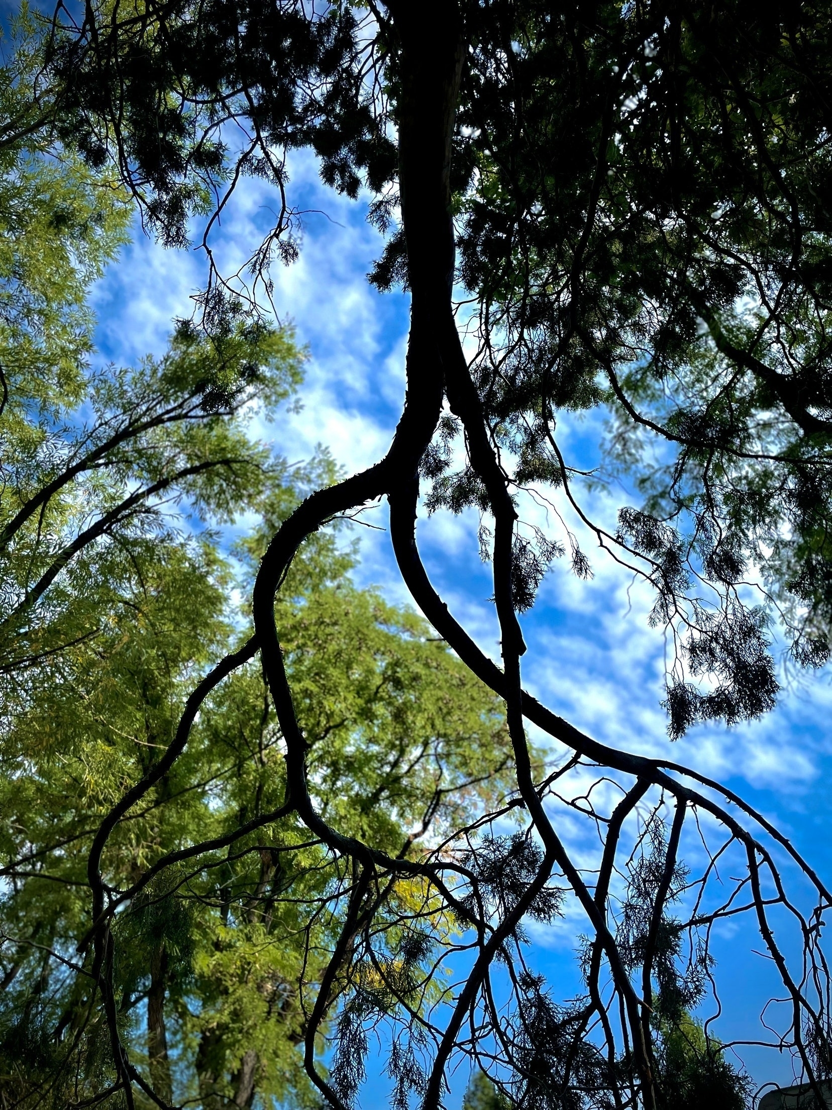 Looking up through a tree to a blue sky.