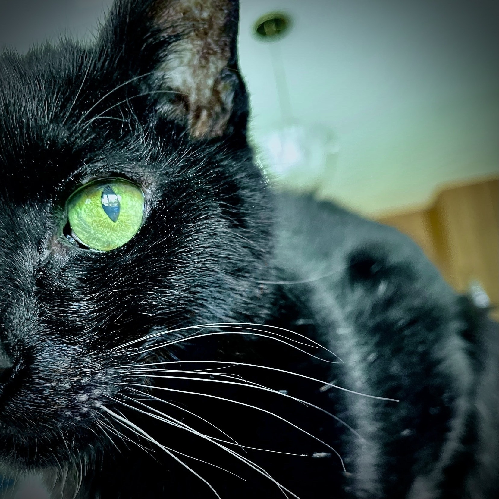 Black cat stares into the camera.