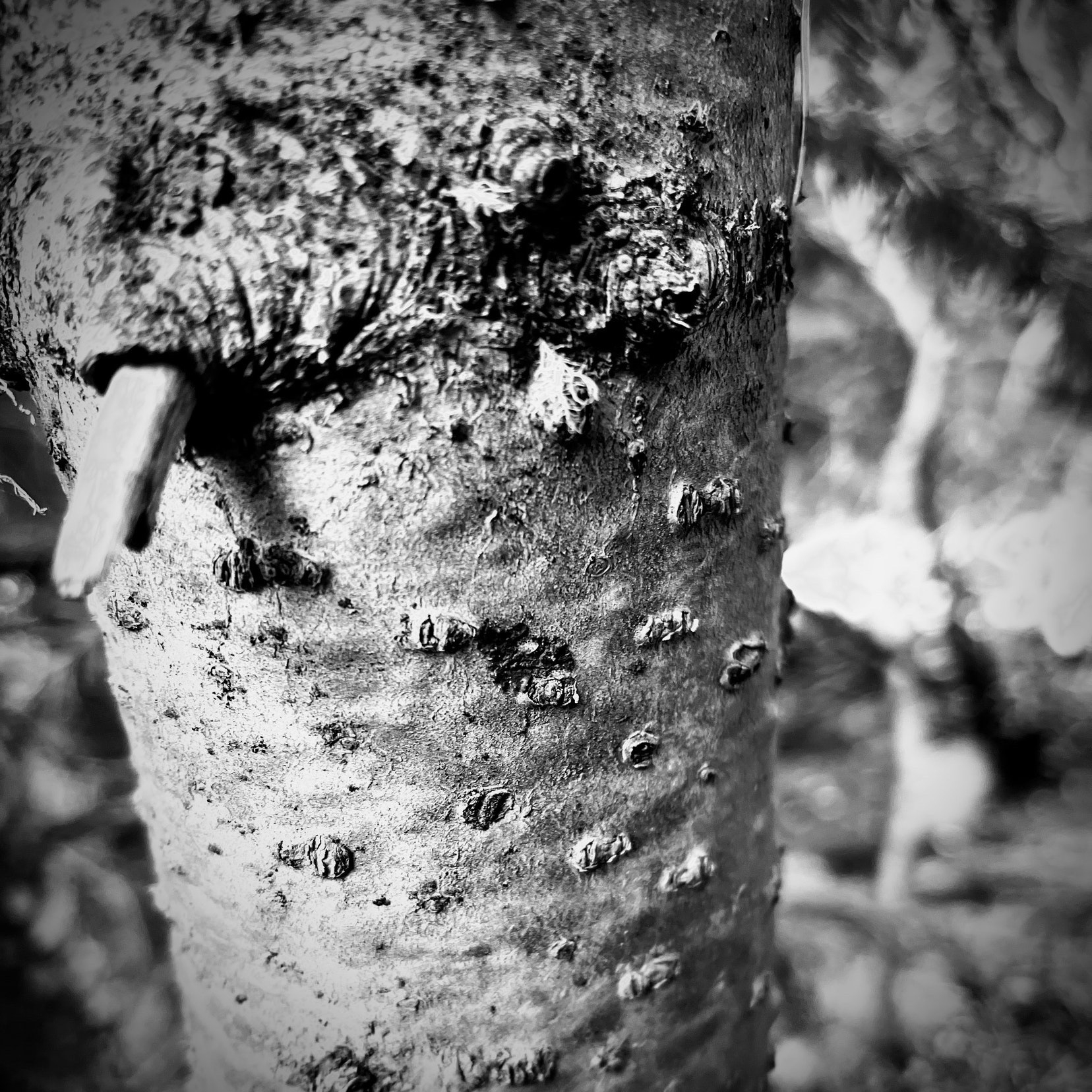 Young tree trunk close up, Black and White.