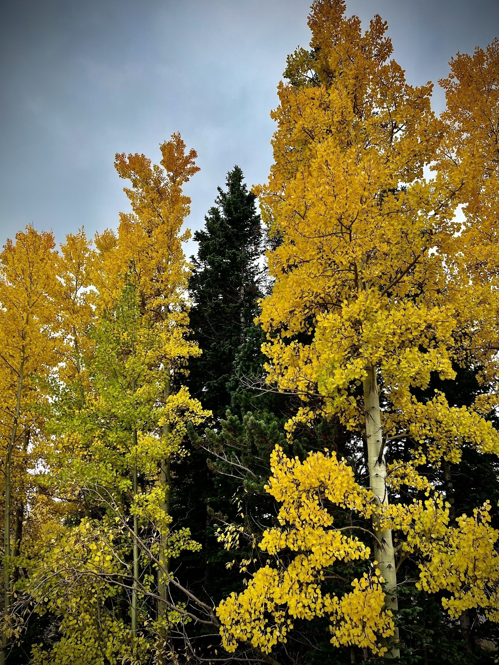 Yellow Aspens and Green Pines against a gray sky.